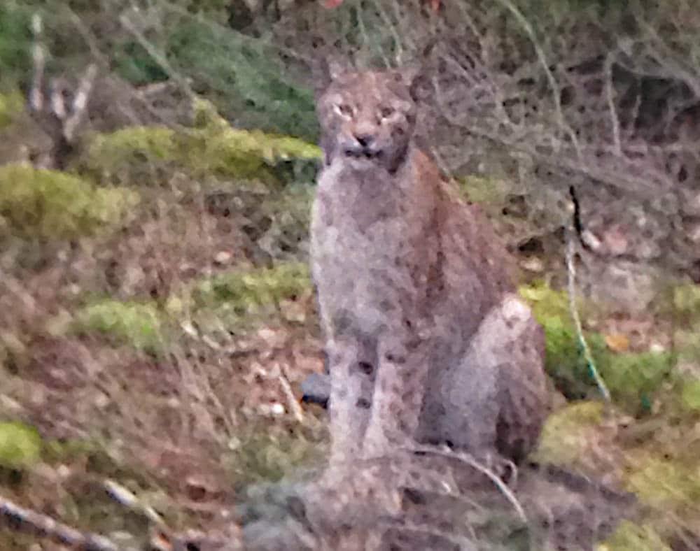 Med en sådan här katt i markerna får jägaren delade känslor. Men en fantastisk naturupplevelse var det när lodjuret kom ut på hygget 80 meter bort. Foto: Jonas Fränne