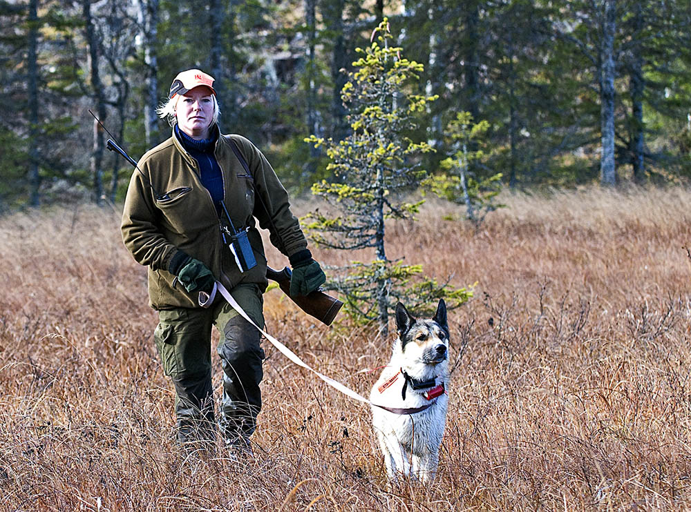"""I Maria Altins """"stall"""", bestående av tre älghundar, är det Kito som är ankaret. Han är en blandning mellan östsibirisk laika och karelsk björnhund och gör sällan någon i jaktlaget besviken. Foto: Thomas Ekroth"""