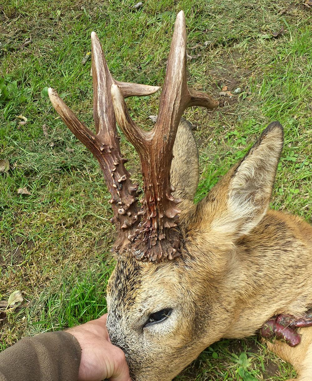 Råbockens horn var 25 respektive 24,5 centimeter långa. Foto: Privat