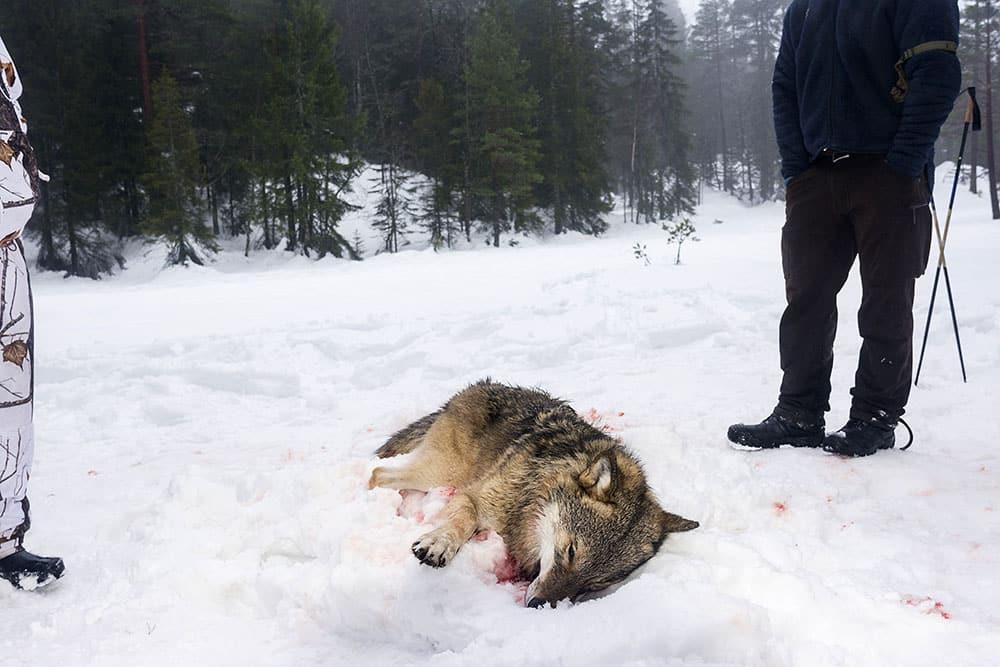 Debattören vill syna värnarnas myter om varg. Foto: Kjell-Erik Moseid