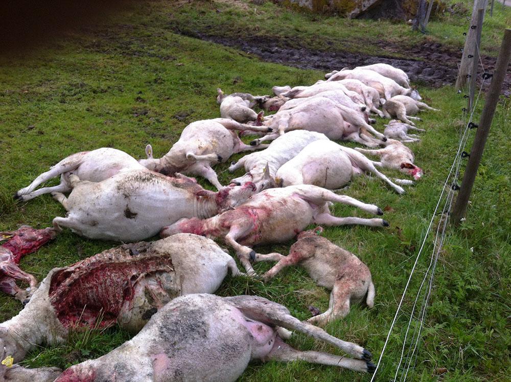 22 får som dödades av varg bakom femtrådigt rovdjursstängsel.