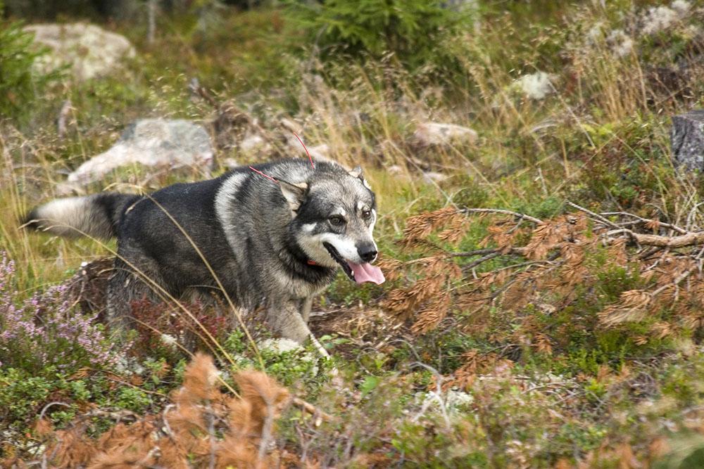 Jämthunden stärker sin ställning ytterligare, som den näst populäraste hundrasen i landet. Den ökar också mest av jakthundsraserna. Foto: Olle Olsson