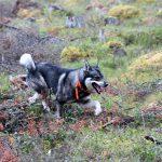 Jämthunden är inte bara Finlands populäraste älghund, den passerade under fjolåret även den finska stövaren i antal registreringar. Foto: Olle Olsson