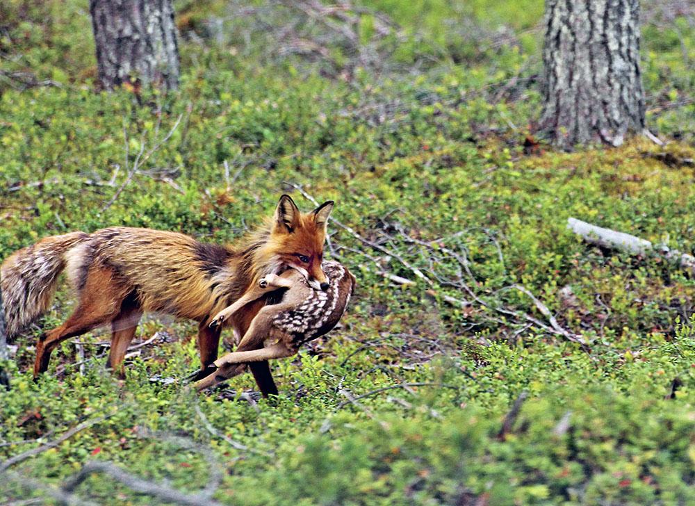 Den absolut vanligaste dödsorsaken bland nyfödda rådjurskid är att bli tagna av räv. Foto: Jesper Wahlberg