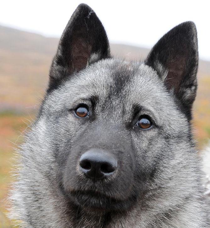 Varför drabbas inte gråhund lika ofta som jämthund av livmoderinflammation, är en fråga forskarna söker svar på. Foto: Jan Henricson