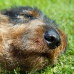 Ny forskning visar att det varken gör till eller från att ge en ormbiten hund kortison. Foto: Olle Olsson