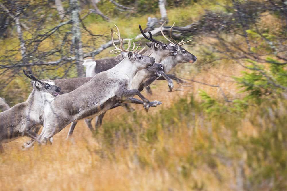 """""""Johanna Sandahl och Naturskyddsföreningen borde veta att vi inom renskötselområdet redan lever med 80 procent av de andra stora rovdjuren i Sverige."""" Foto: Kjell-Erik Moseid"""