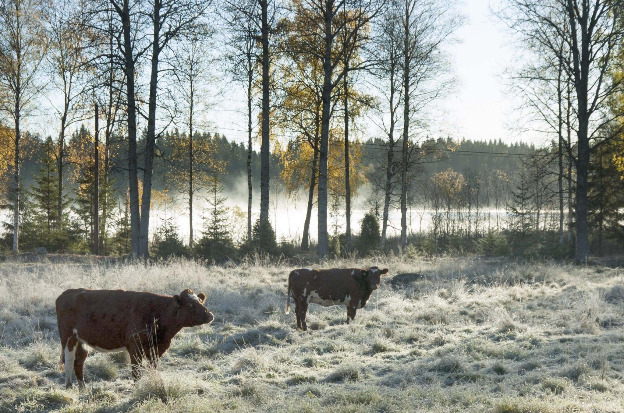 Utan betande djur är landsbygden snart ett minne blott, enligt debattören. Foto: Mari Ermeland