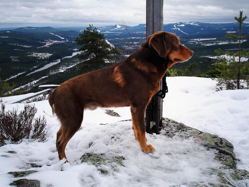 Smålandsstövaren Helax är första bruna smålandsstövaren som blivit jaktchampion. Ägaren heter Gunnar Andersson och bor i Älvdalen.