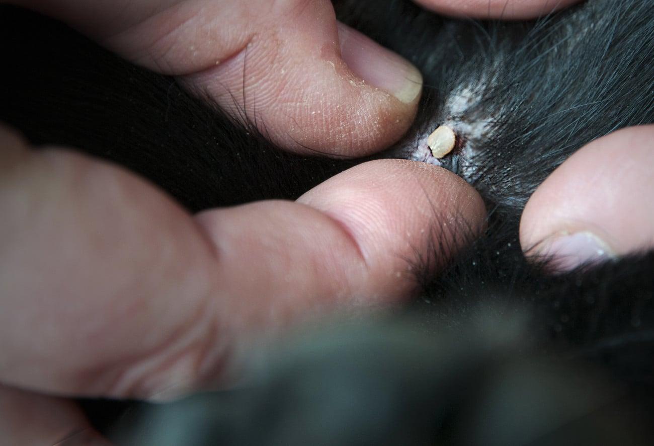 Många skador och tillbud kan förebyggas eller lindras genom visitering av hunden före och efter jakten. Upptäcks en skada snabbt så minskar också risken att den förvärras. Foto: Jan Henricson