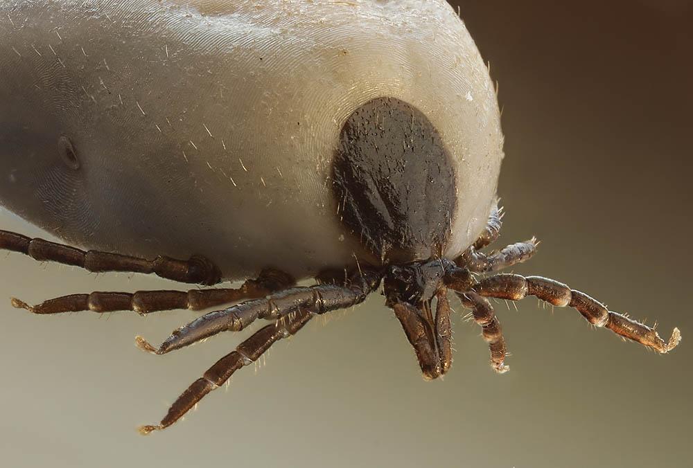 Ixodus ricinus heter den vanliga fästingen på våra breddgrader. Foto: Richard Bartz