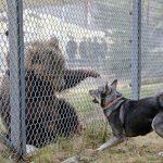 Stort självförtroende och mod. Det karaktäriserar en bra björnhund. Den här hunden, jämttiken Era, visade ganska gott mod vid testet. Foto: Lars-Henrik Andersson
