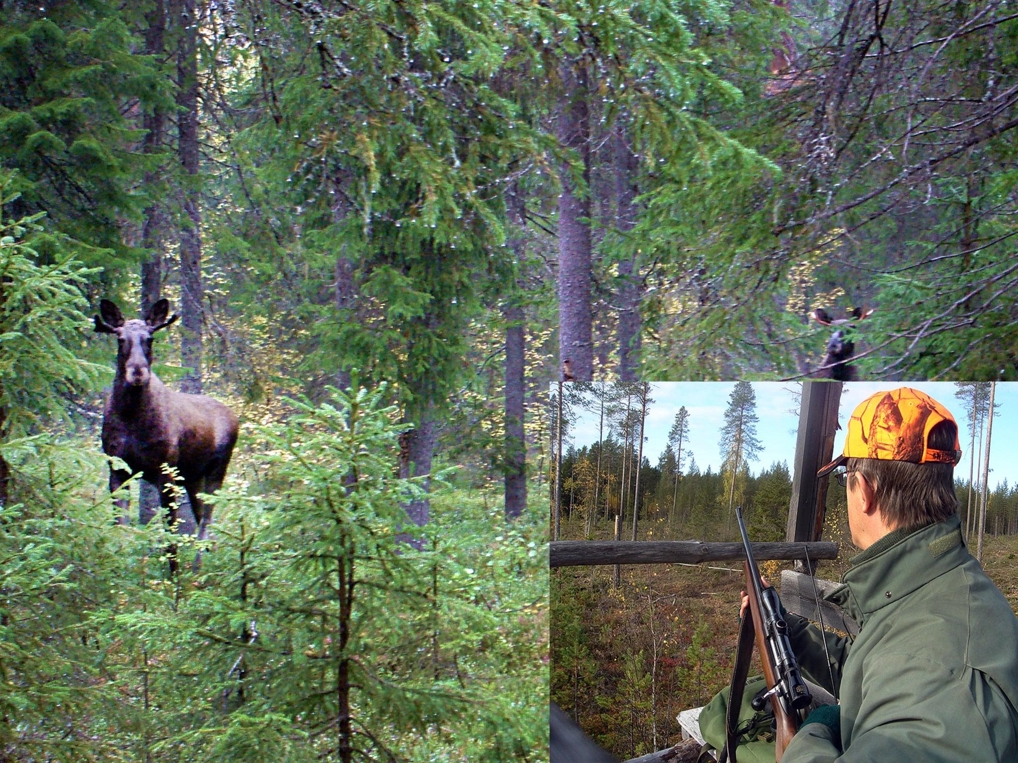 Det är inte ovanligt att älgtjuren kommer smygande i skydd av skogen när du lockar. Nyttja jakttornen att locka från. Du får bättre sikt och undviker problemet med markvittring. Kolla dock så att tornet är stadigt och inte väsnas.Foto: Lars-Henrik Andersson (Bilden är ett montage)