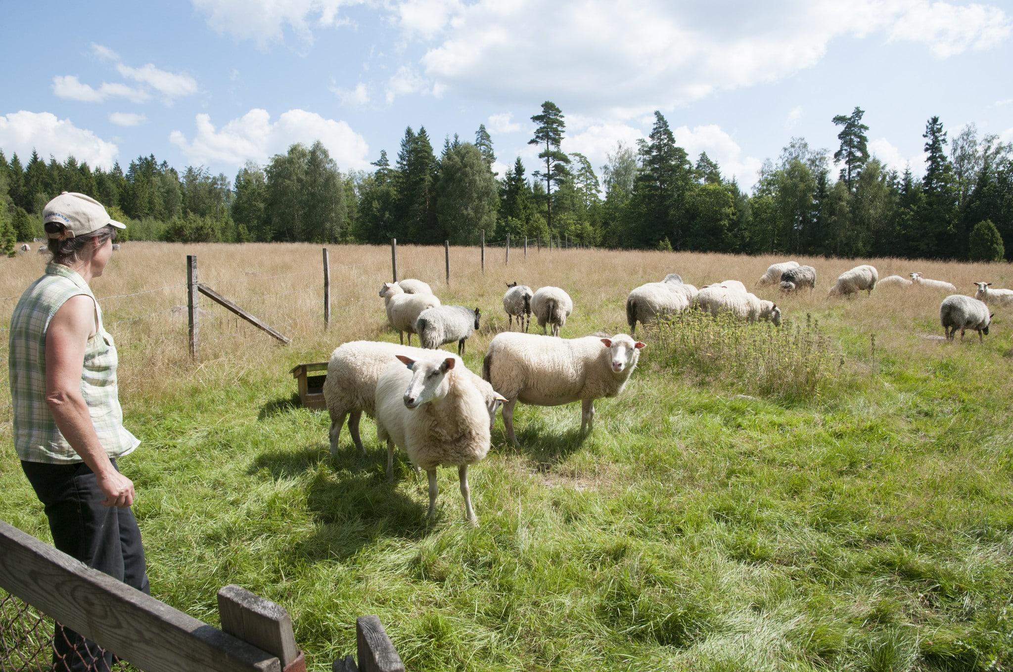 En allt ovanligare syn. Småbrukande djurhållare tvingas lägga ner sitt värv. Foto: Jan Henricson