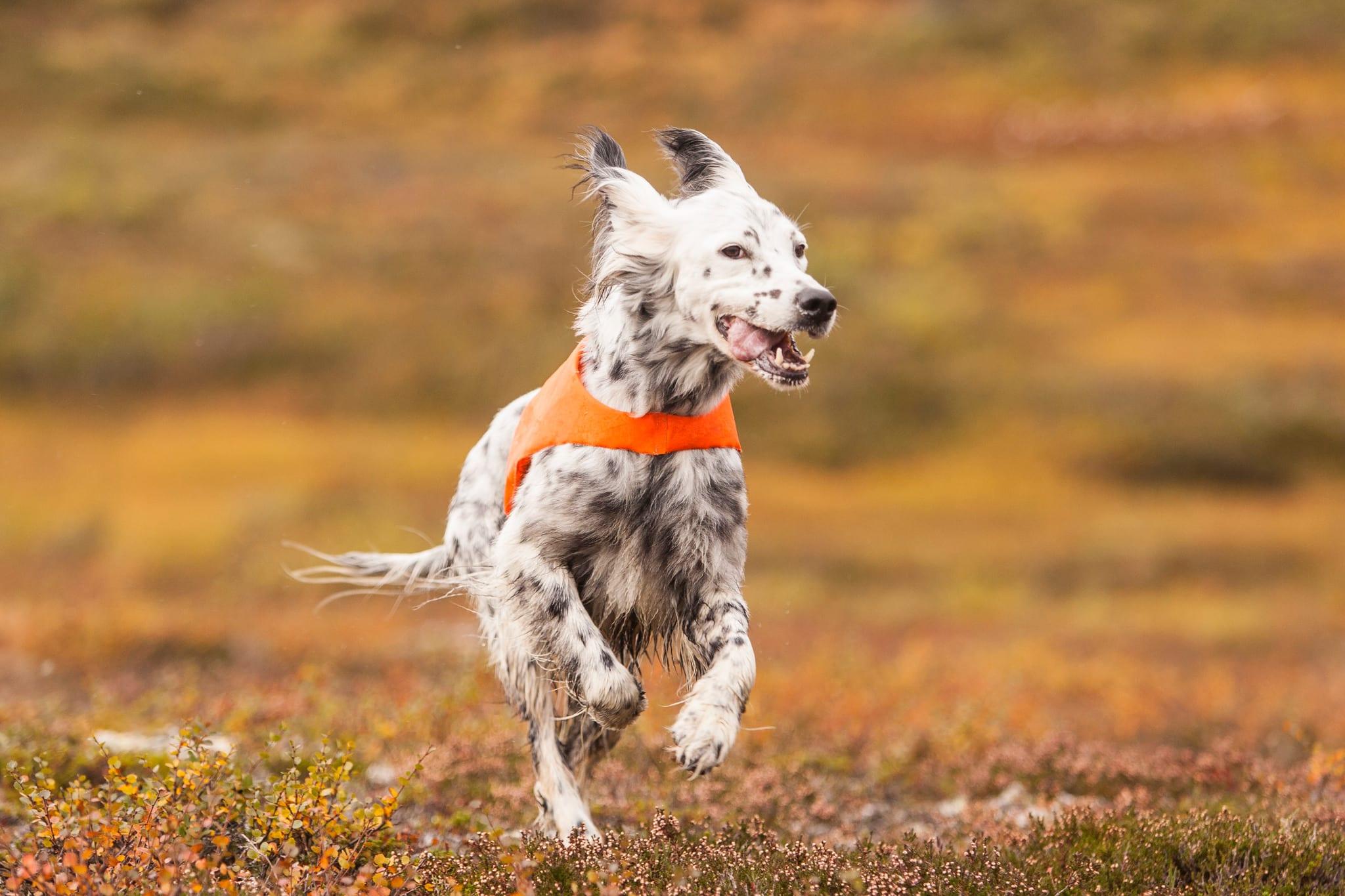 Fågelhundsträning är åter möjlig för norska hundförare i Sverige. Foto: Kjell-Erik Moseid