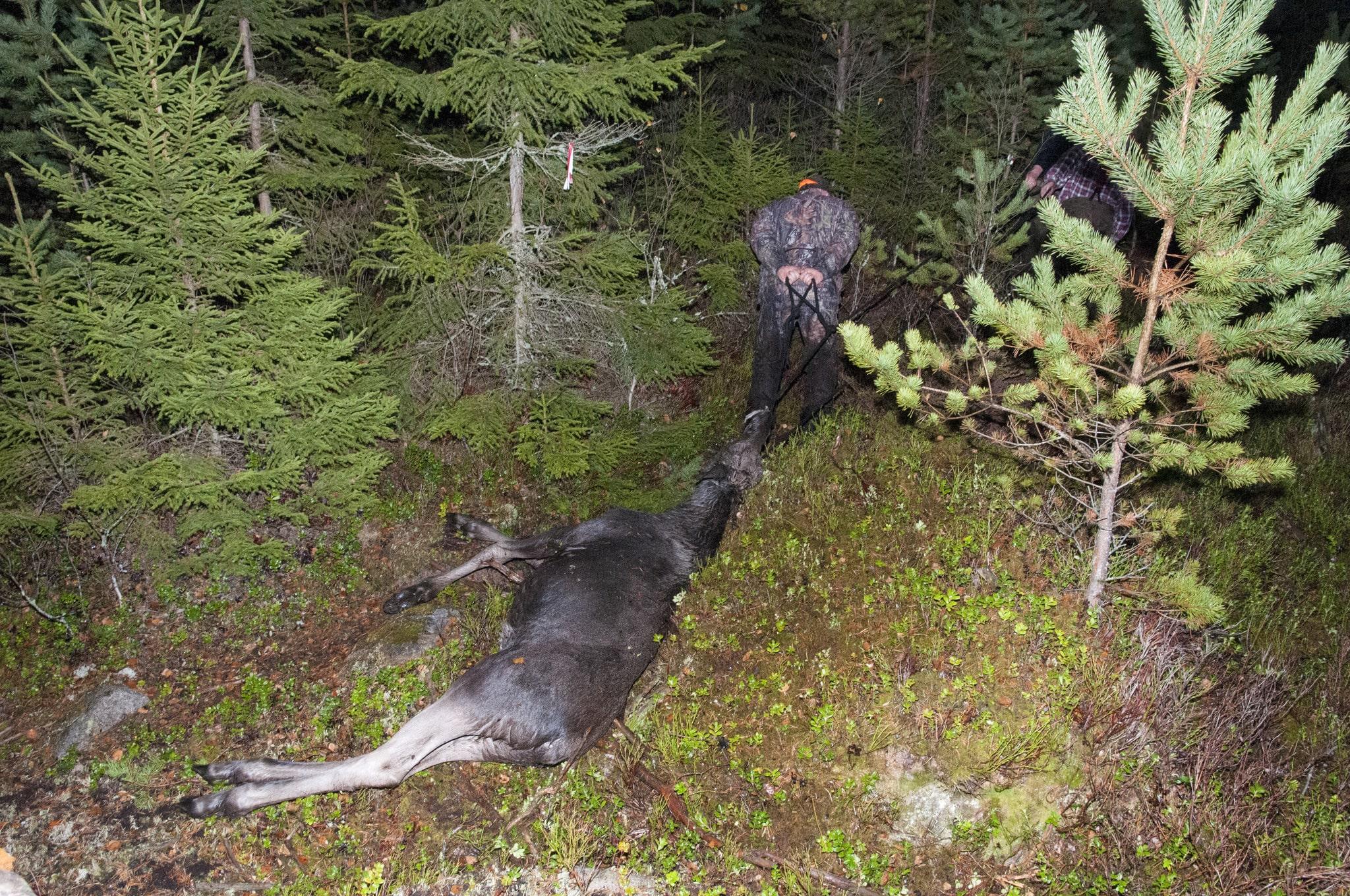 För varje vuxet djur ska det skjutas minst en kalv, en tillämpad reell adaptiv förvaltning, skriver debattören. Foto: Jan Henricson