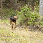 Under stövarjaktens dag i Blekinge blir det jakt med räv- och harstövare. Foto: Jan Henricson