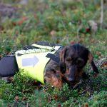 De flesta ansökningar om bidrag till skyddsväst gäller jämthund och gråhund, men även andra raser som tax förekommer. Foto: Olle Olsson