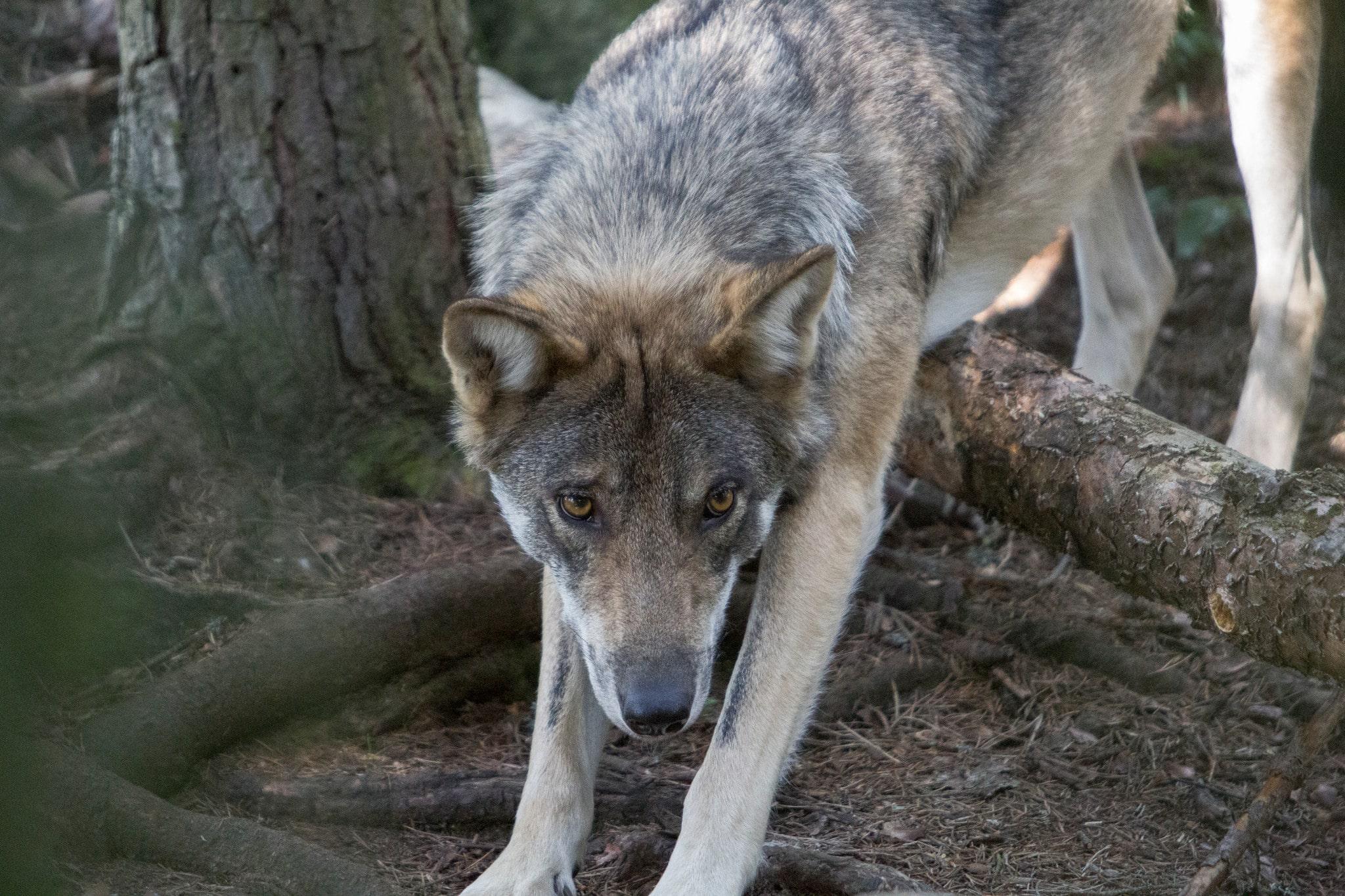 Vargar med okänt genmaterial kommer på sikt att leda till genetiska defekter på de svenska vargarna, anser skribenten. Foto i hägn: Olle Olsson