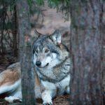 Är det verkligen så att vargen har ett eget ekosystem där bara vargar räknas? Det undrar Veine Eliasson i det här debattinlägget. Foto: Olle Olsson