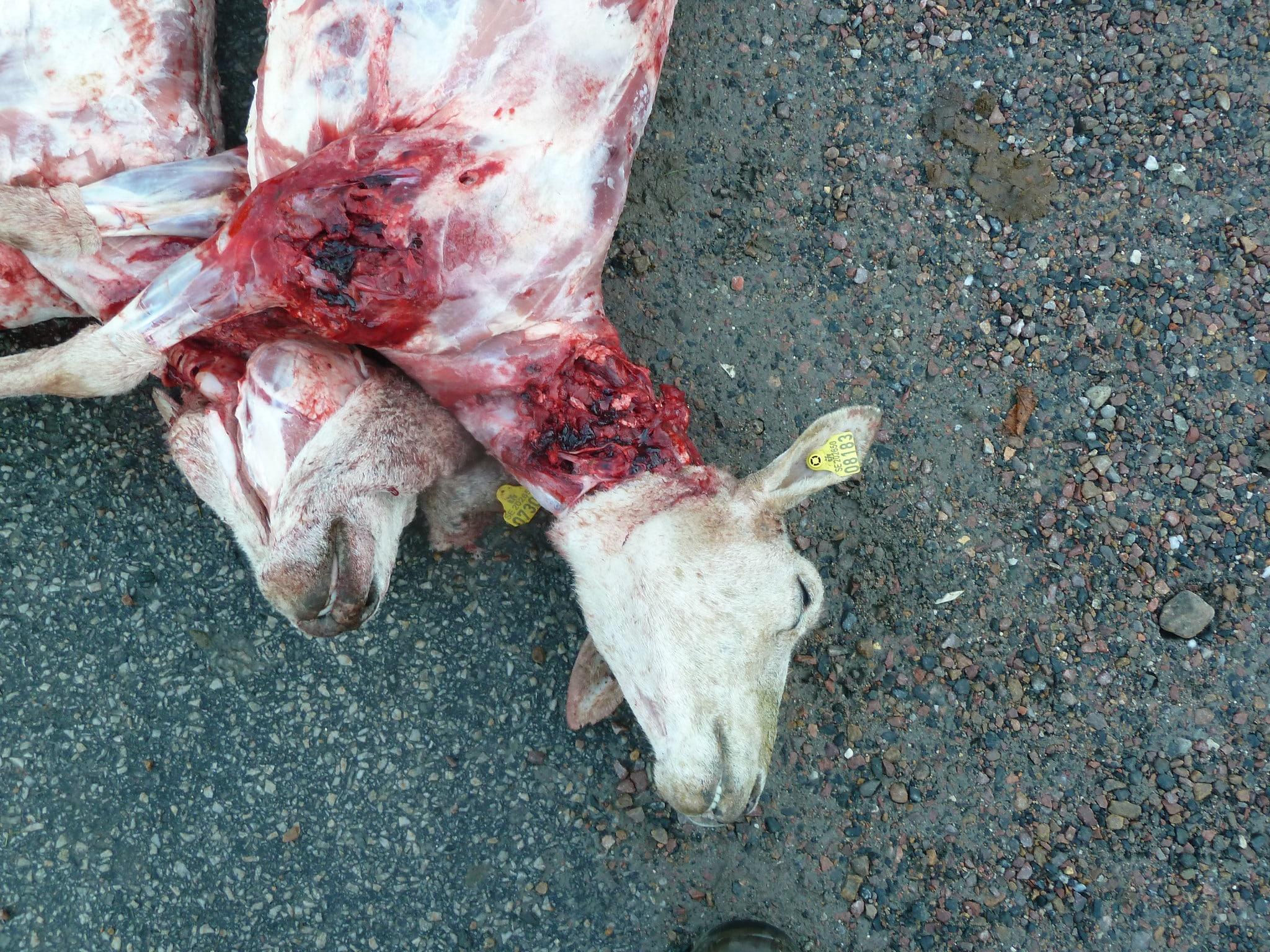 Vargdödade får, med typiska kraftfulla bett i halsen. Foto: Bertil Nilsson