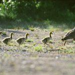 Gässens starka familjesammanhållning utgör ett gott skydd för unggässen under deras första levnadsår. Foto: Kenneth Johansson