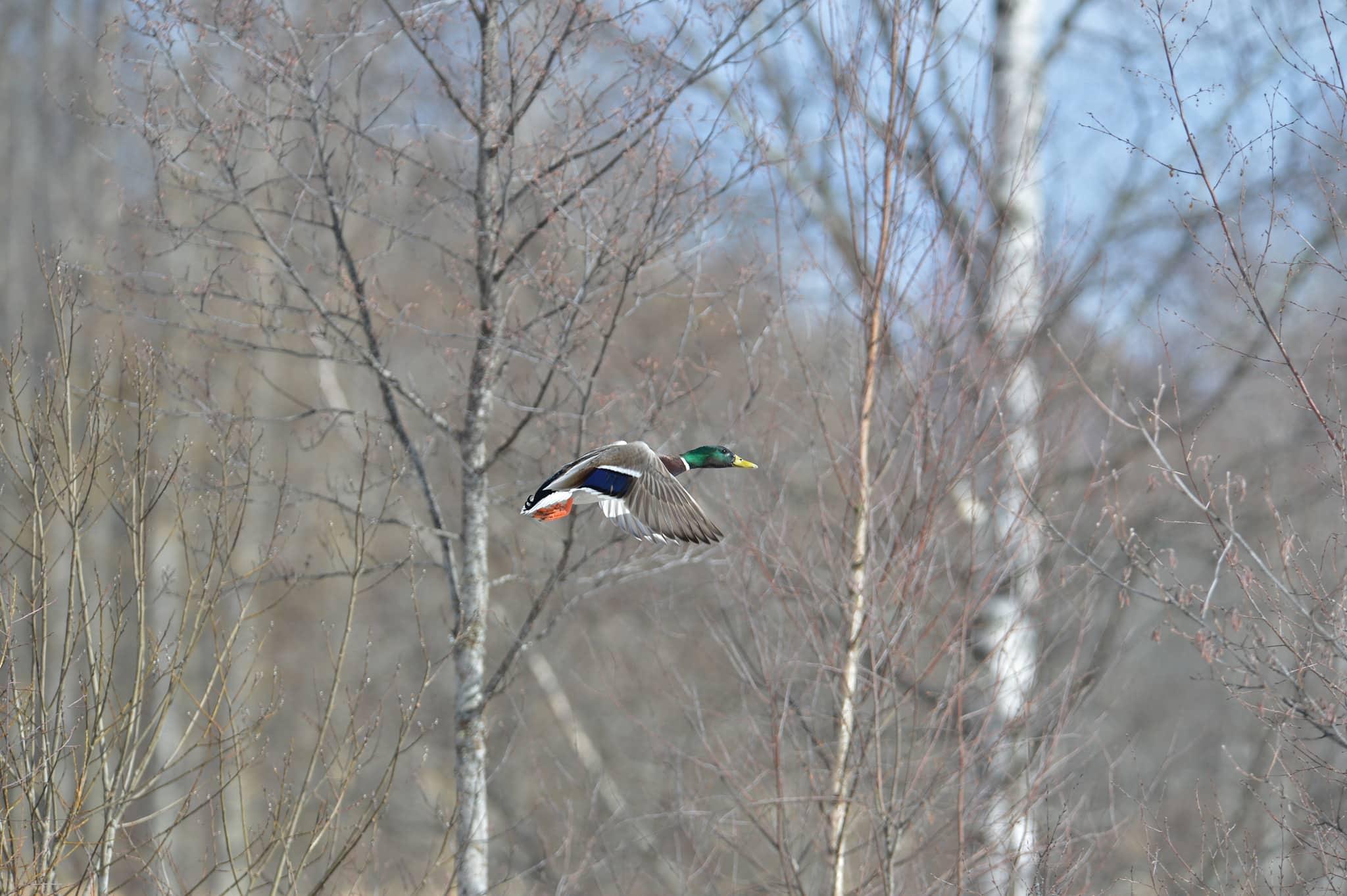 En norsk studie på fågel föreslår kantzoner mot vattendrag på minst 30 meter. Foto: Kenneth Johansson