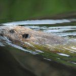 En dykande bäver kan förflytta sig mycket långa sträckor under vattnet. Foto: Kenneth Johansson
