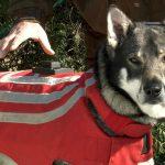 För att få bidrag ska västen skydda hunden från att dödas eller skadas allvarligt vid vargangrepp. Till exempel genom el eller stålpiggar. Foto: Wolf Proof