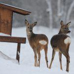 Enligt en undersökning från SLU, Skogsforsk och Uppsala universitet lägger jägare i Sverige ut sammanlagt 265 miljoner kronor på viltutfodring under ett år. Foto: Kenneth Johansson