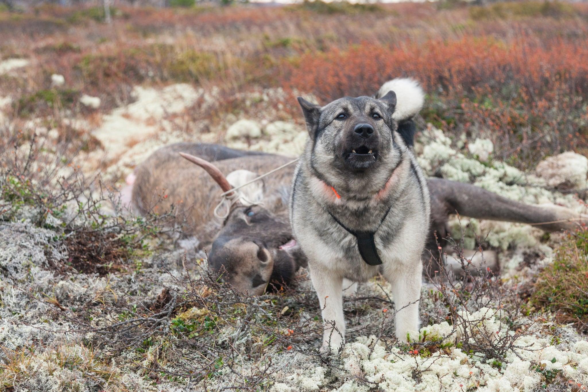 Licensjakt bör inte ske i tätortsnära skogar, eller i andra områden som frekventeras ofta av friluftslivet, exempelvis kan jakt behöva undvikas på helger, anser Naturskyddsföreningen. Foto: Kjell-Erik Moseid