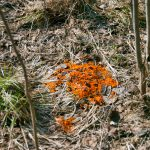 Det är så här man ser den, som en starkt orangefärgad fläck på marken efter snösmältningen. Foto: Bernt Karlsson