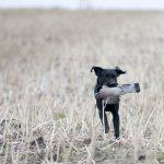 Labradoren ökar sitt avstånd till tvåan golden retriever och är den i särklass populäraste hundrasen i Sverige. Foto: Jan Henricson