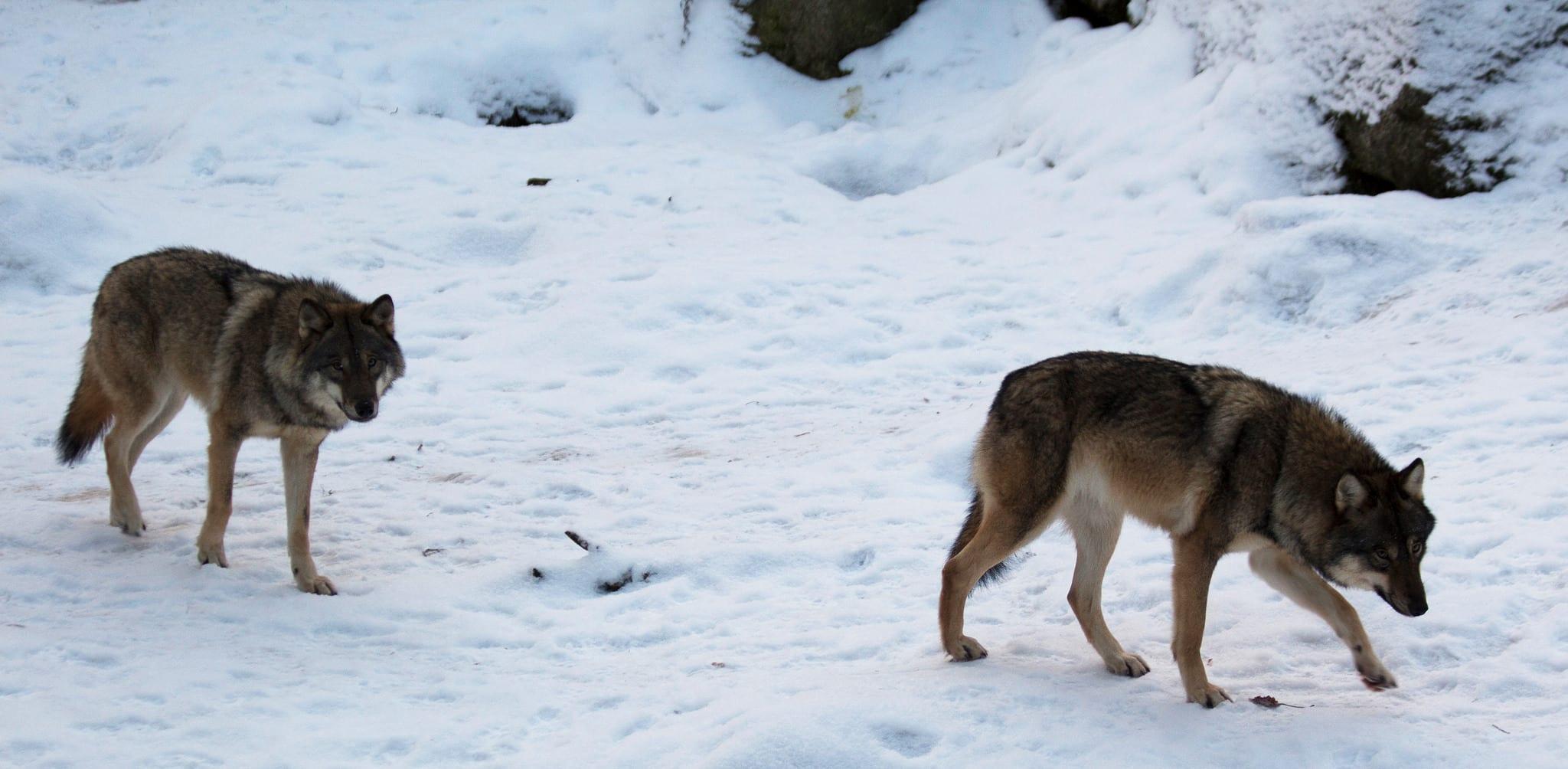 Stäm staten på ersättning för ekonomiska förluster på grund av varg, tycker insändarskribenten. Foto i Lycksele djurpark: Lars Nilsson