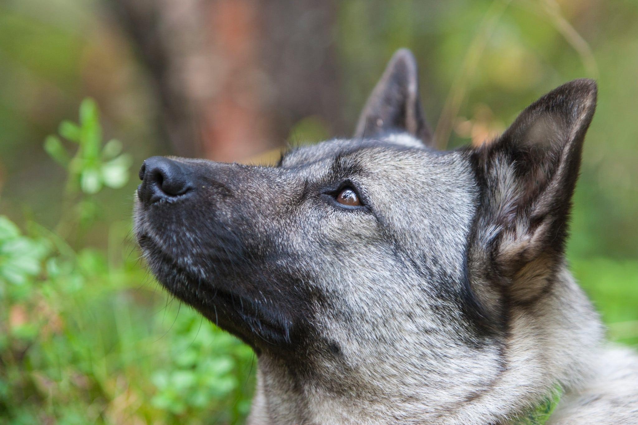 Gråhunden, Norges nationalras, är nu den populäraste hundrasen i sitt hemland. Foto: Kjell-Erik Moseid
