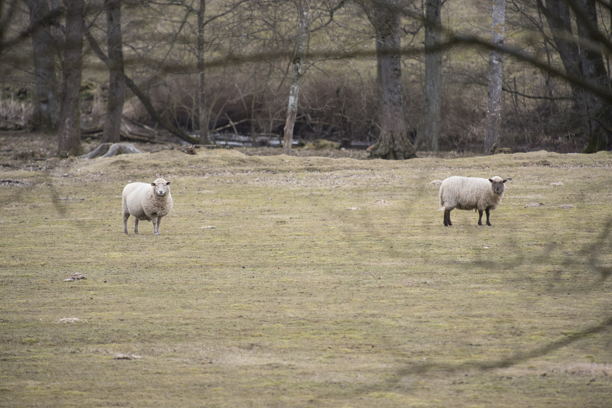 En allt ovanligare syn. Regeringen tar inte landsbygden på allvar och vargens härjningar äventyrare tamdjurshållningen, skriver debattörerna. Foto: Jan Henricson