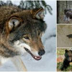 Kommer varg och björn att gå igenom samma typ av boom som älg och lax har gjort, frågar sig debattören.