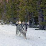 Kennelklubben intensifierar nu sitt arbete för att få fler att uppmärksamma fördelarna med en renrasig jakthund. Foto: Lars-Henrik Andersson
