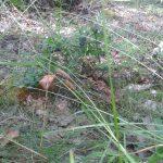 Morkullans unge är väl kamouflerad och inte lätt att upptäcka mot de bruna löven. Foto: Jan Sjöstedt