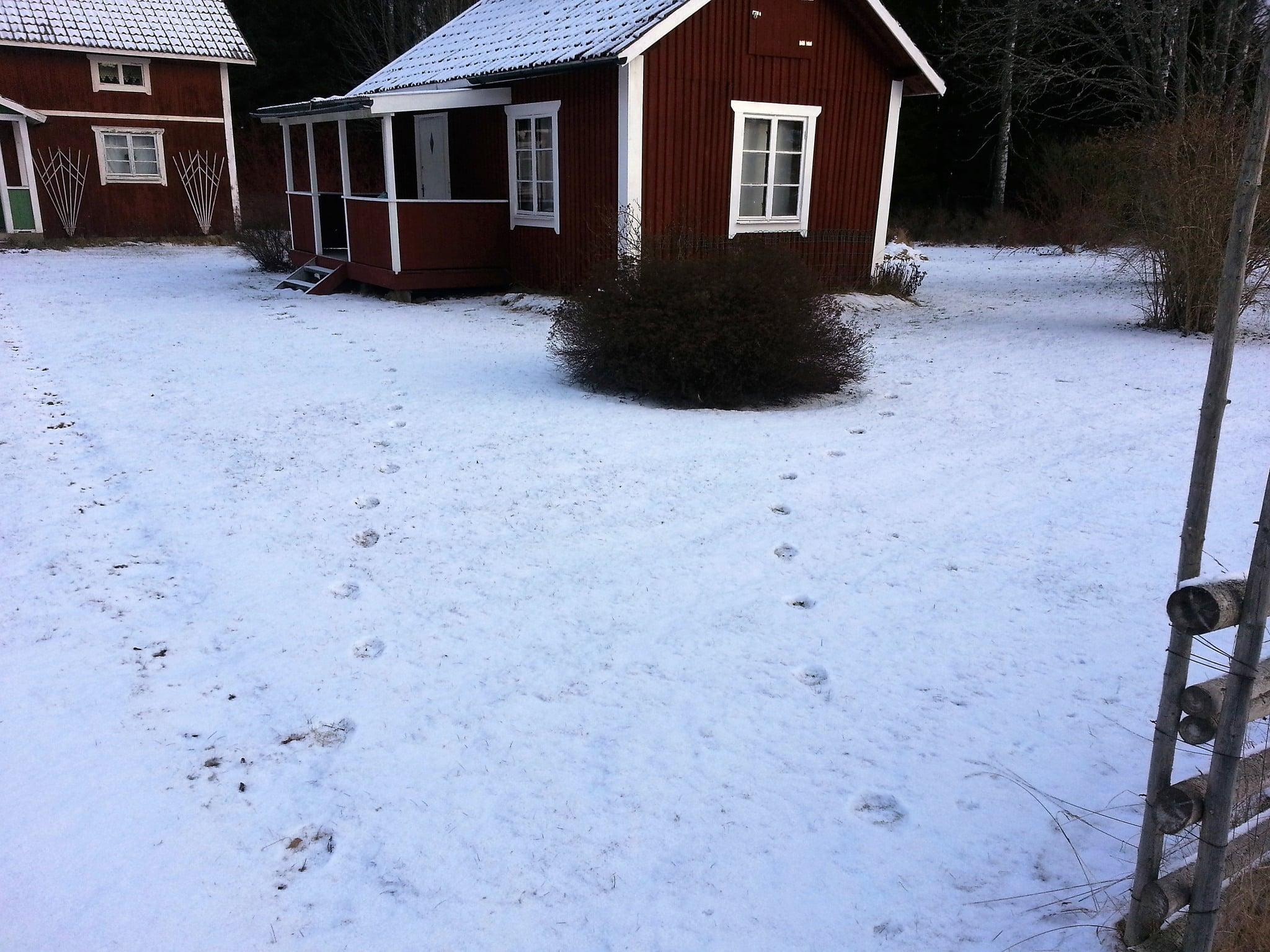 Snöförhållanden har varit för dåliga för att kvalitetssäkra tillräckligt många loföryngringar i Mellansverige för att jakt skulle tillåtas. Viltkameror behövs för att dokumentera rovdjursförekomst, anser skribenten. Foto: Privat