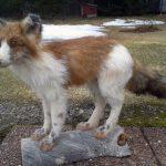 Det var en något ovanlig pälsfärg på den räv som Ivan Marjavaara sköt i en by utanför Pajala. Räven hade en störning i pigmentlagringen. Foto: Ivan Marjavaara