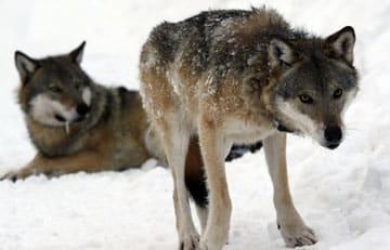 Skyddsjakt pa varg i varmland allt narmare