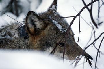 15 januari inleds licensjakten på varg. Totalt får 20 vargar fällas i landet. Foto: Olle Olsson