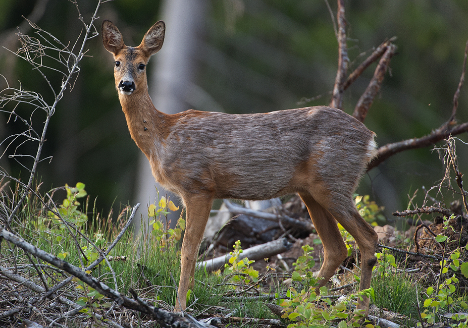 Rådjuret är ett av många däggdjur som fästingen använder som värddjur. Nu är ett vaccin mot den fästingburna borreliabakterien på gång för människor. Foto: Kenneth Johansson