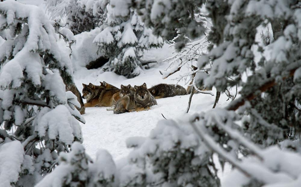 Det var hela revir och inte enstaka vargar som skulle plockas bort för att vargstammen skulle stärkas genetiskt, enligt den forskarrapport som den selektiva vargjakten grundades på. Foto i hägn: Olle Olsson