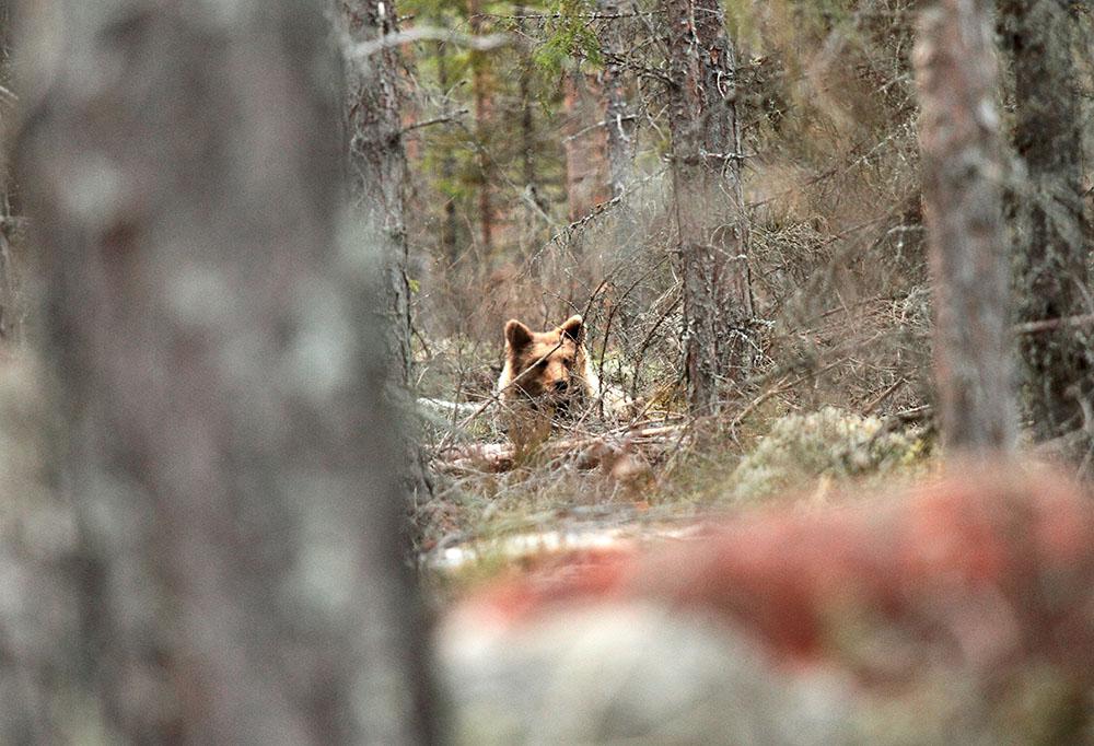 Honungssugna björnar kan tvinga en av landets största biodlare att ge upp sin verksamhet. Foto: Olle Olsson