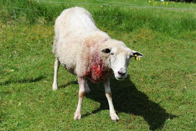 Ett av de åtta skadade fåren dagen efter vargattacken i Ålaryd. Foto: Kenneth Johansson