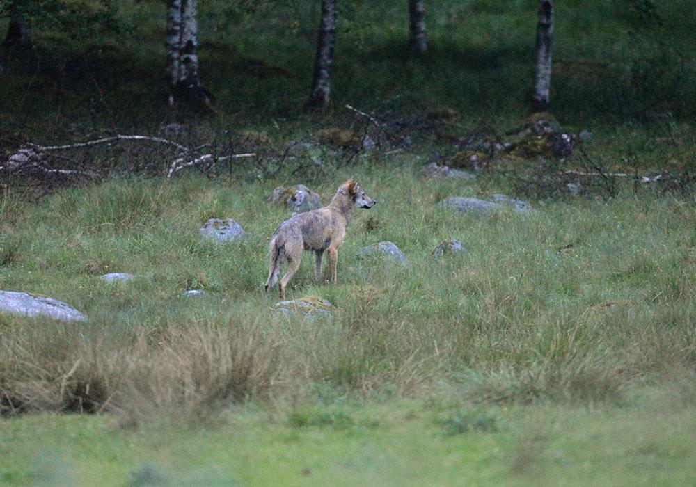Vargen i samband med att den besökte en fårhage i Ålaryd den 15 juni där den natten innan dödat och skadat 14 får. Foto: Kenneth Johansson
