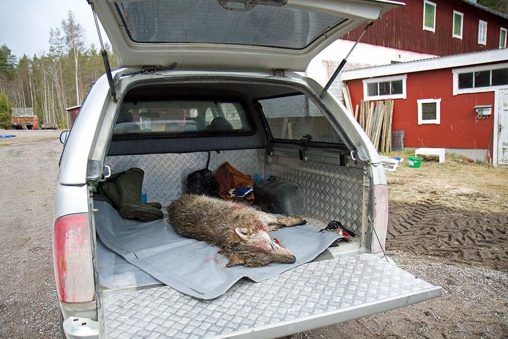 En fårägare i Hälsingland tvingades avliva en varg i en fårhage, våren 2012. Vargen hade då redan dödat tre får och var i färd med att döda fler när den sköts. Foto: Olle Olsson