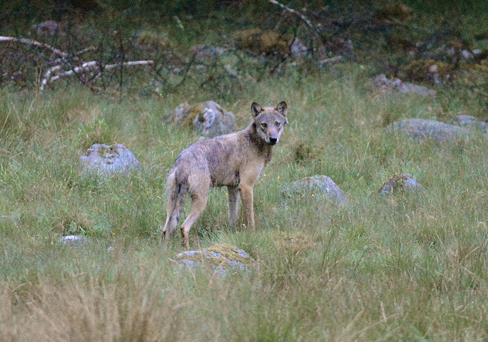 Paragraf 28 får användas när rovdjur angriper tamdjur. Foto: Kenneth Johansson